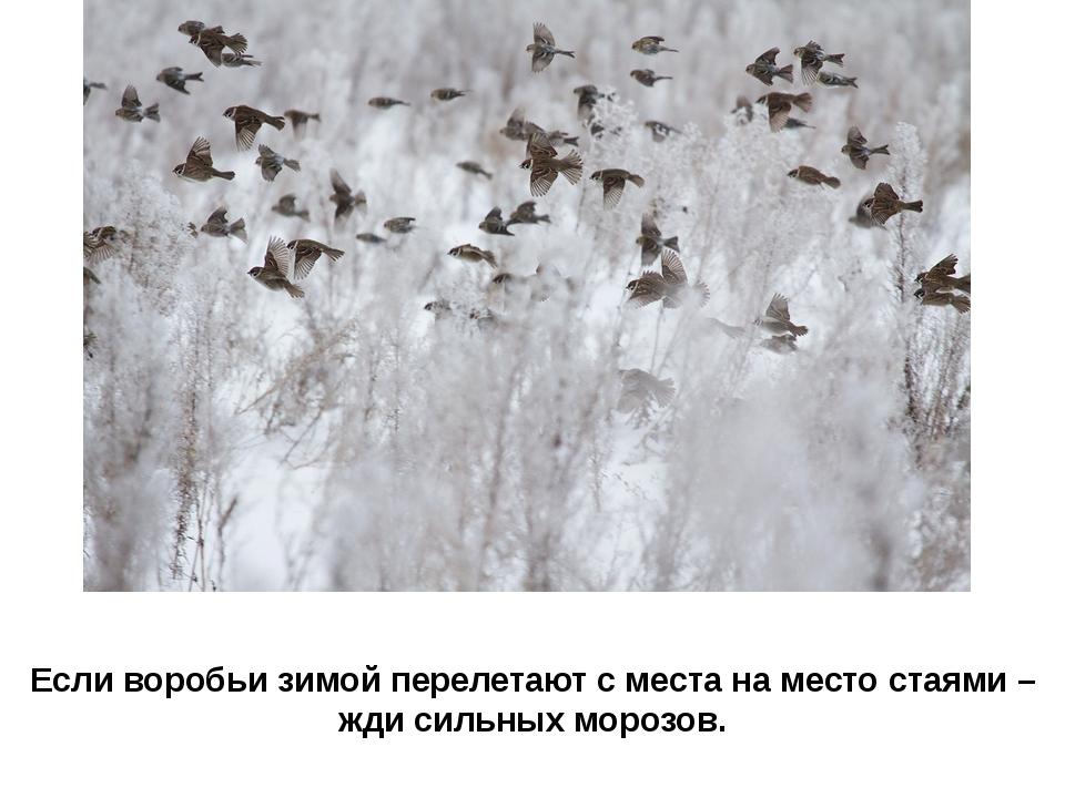 Если воробьи зимой перелетают с места на место стаями – жди сильных морозов.