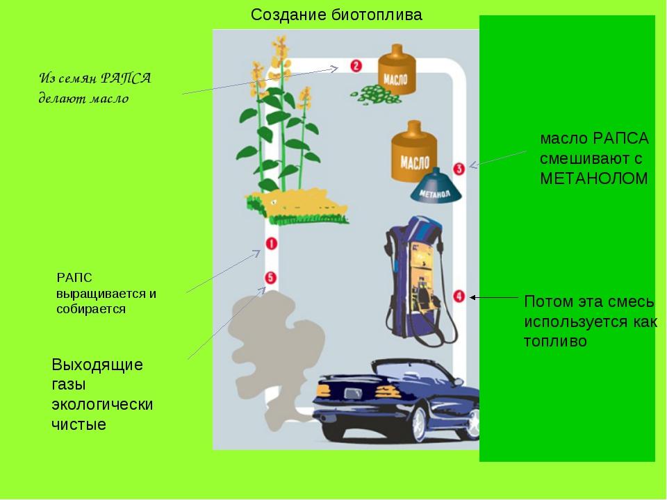 РАПС выращивается и собирается Из семян РАПСА делают масло Создание биотоплив...