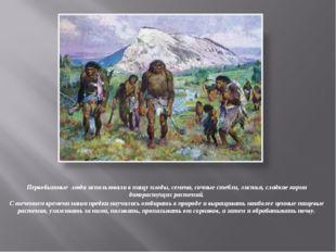 Первобытные люди использовали в пищу плоды, семена, сочные стебли, листья, сл