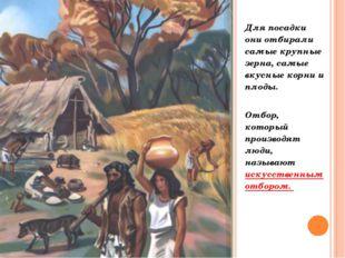Для посадки они отбирали самые крупные зерна, самые вкусные корни и плоды. От
