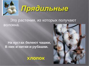 Это растения, из которых получают волокна. На кустах белеют чашки, В них и н