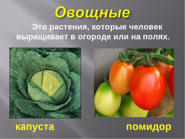 Это растения, которые человек выращивает в огороде или на полях. капуста пом...