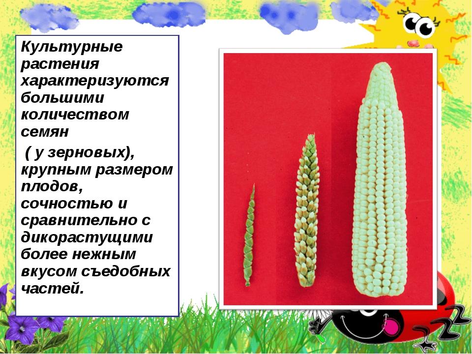 Культурные растения характеризуются большими количеством семян ( у зерновых),...