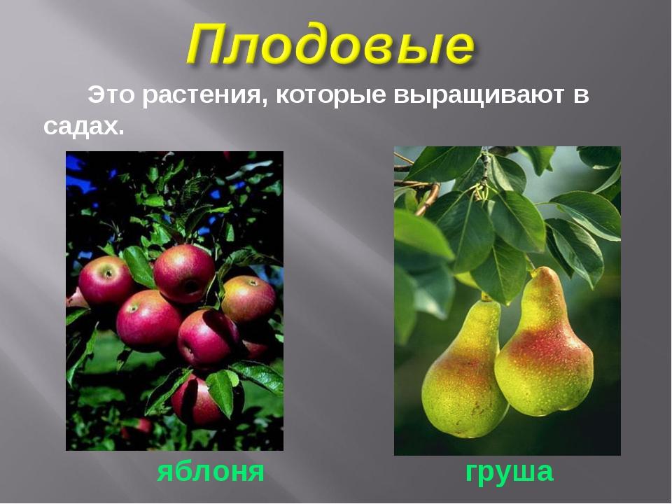 Это растения, которые выращивают в садах. яблоня груша