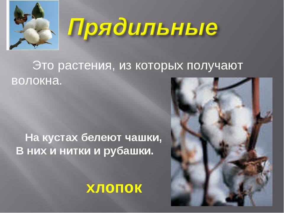 Это растения, из которых получают волокна. На кустах белеют чашки, В них и н...