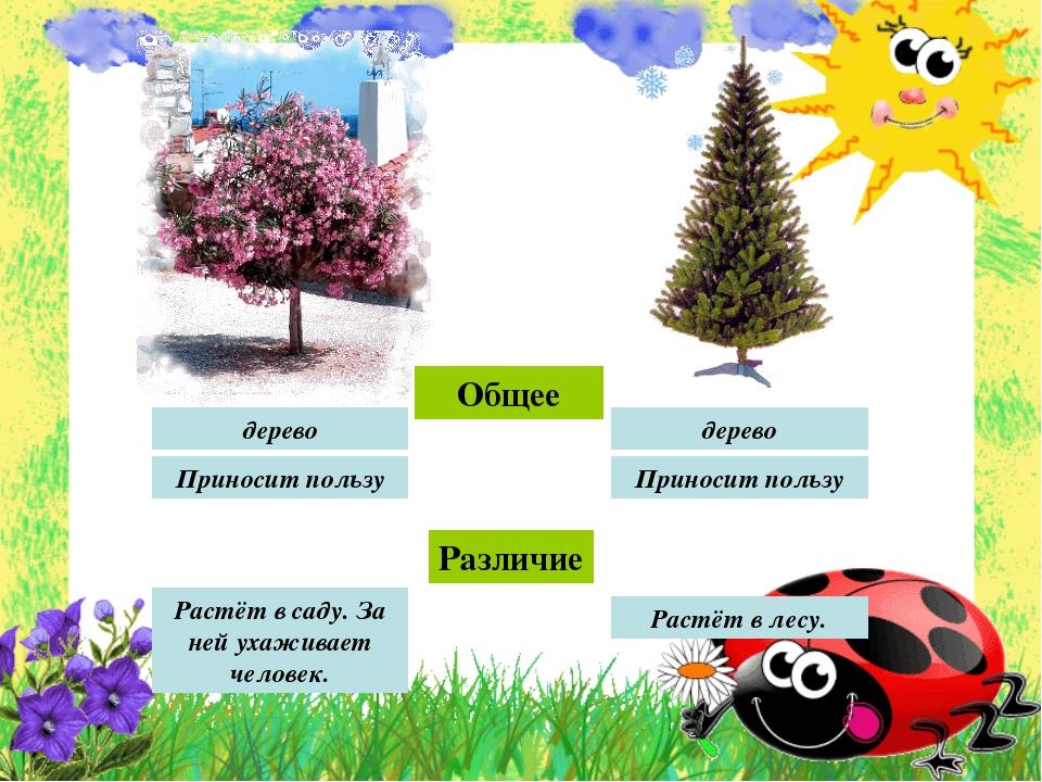 Общее Различие Растёт в лесу. Растёт в саду. За ней ухаживает человек. дерево...