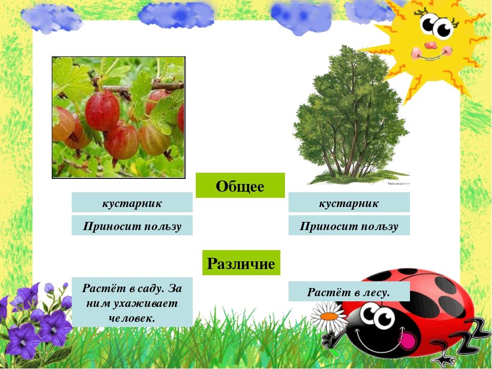 Общее кустарник кустарник Приносит пользу Приносит пользу Различие Растёт в с...