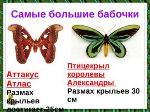 Самые большие бабочки Аттакус Атлас Размах крыльев достигает 25см Птицекрыл к