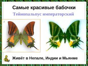 Самые красивые бабочки Тейнопальпус императорский Живёт в Непале, Индии и Мья