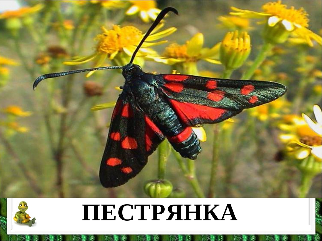 ПЕСТРЯНКА