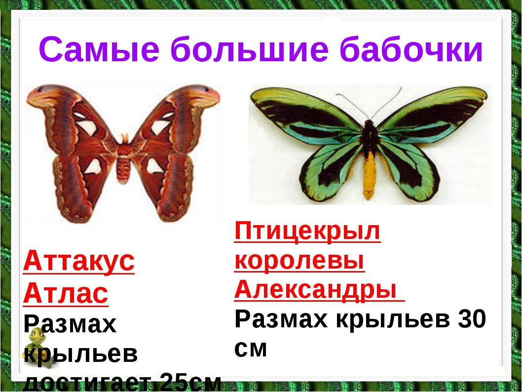Самые большие бабочки Аттакус Атлас Размах крыльев достигает 25см Птицекрыл к...