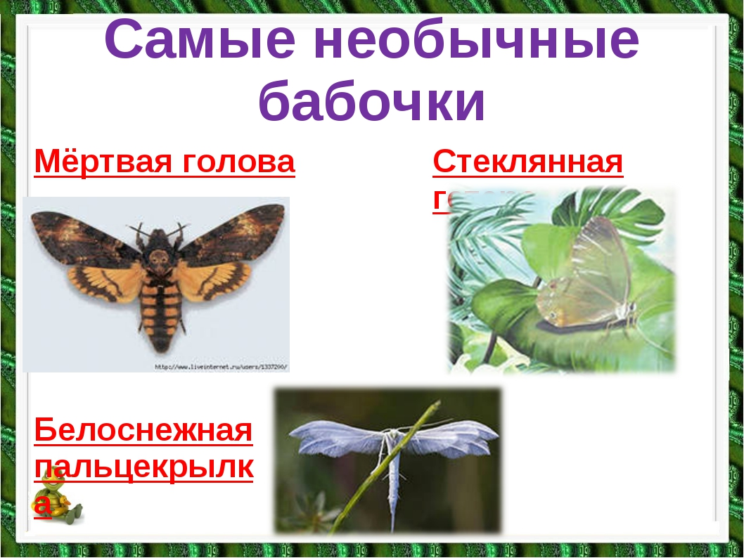 Самые необычные бабочки Мёртвая голова Стеклянная гетера Белоснежная пальцекр...