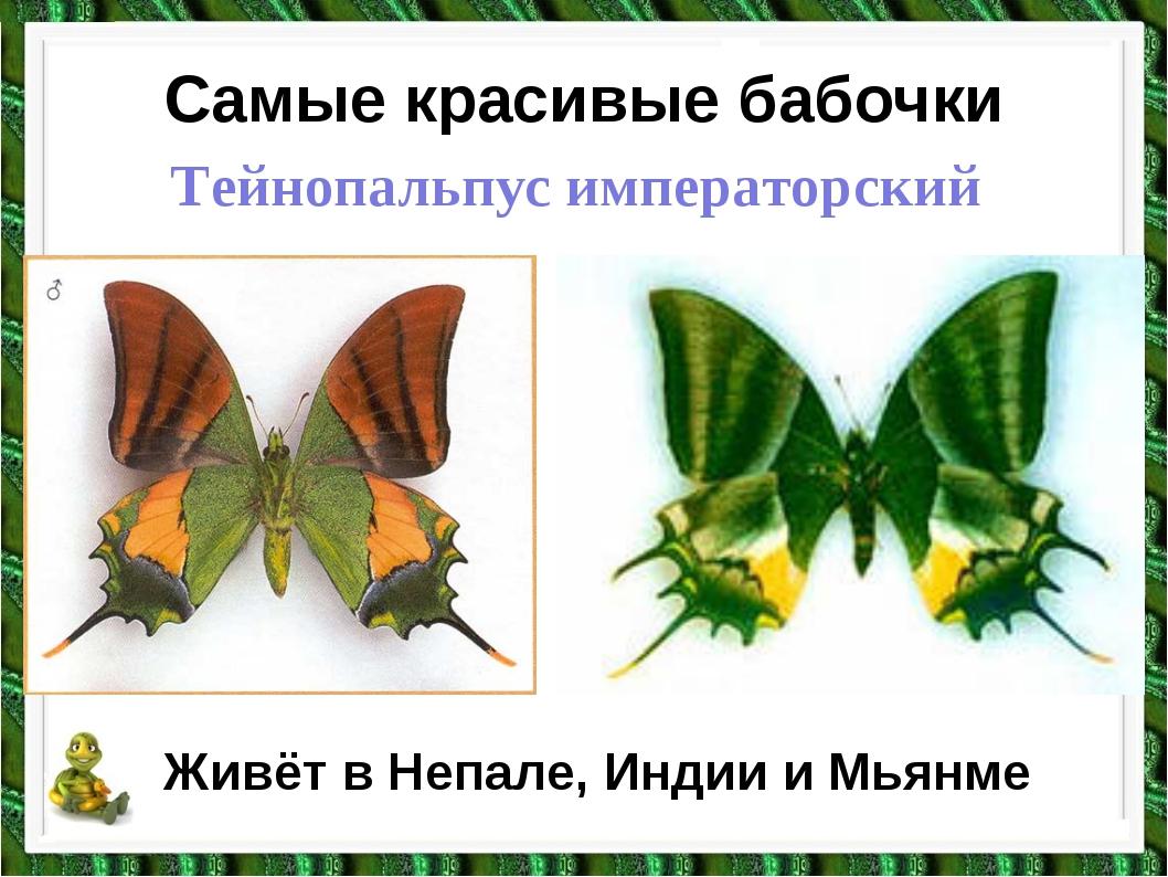 Самые красивые бабочки Тейнопальпус императорский Живёт в Непале, Индии и Мья...