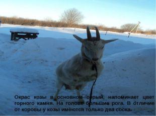 Окрас козы в основном серый, напоминает цвет горного камня. На голове большие