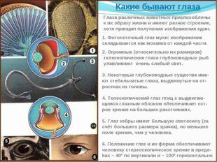 Какие бывают глаза Глаза различных животных приспособлены к их образу жизни и