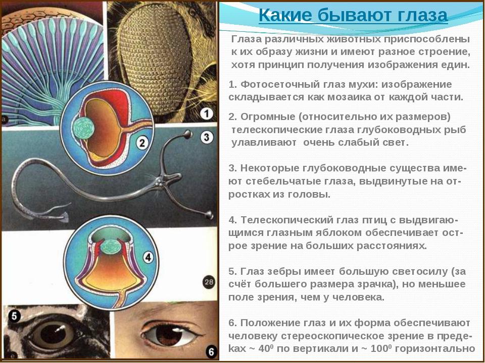 Какие бывают глаза Глаза различных животных приспособлены к их образу жизни и...