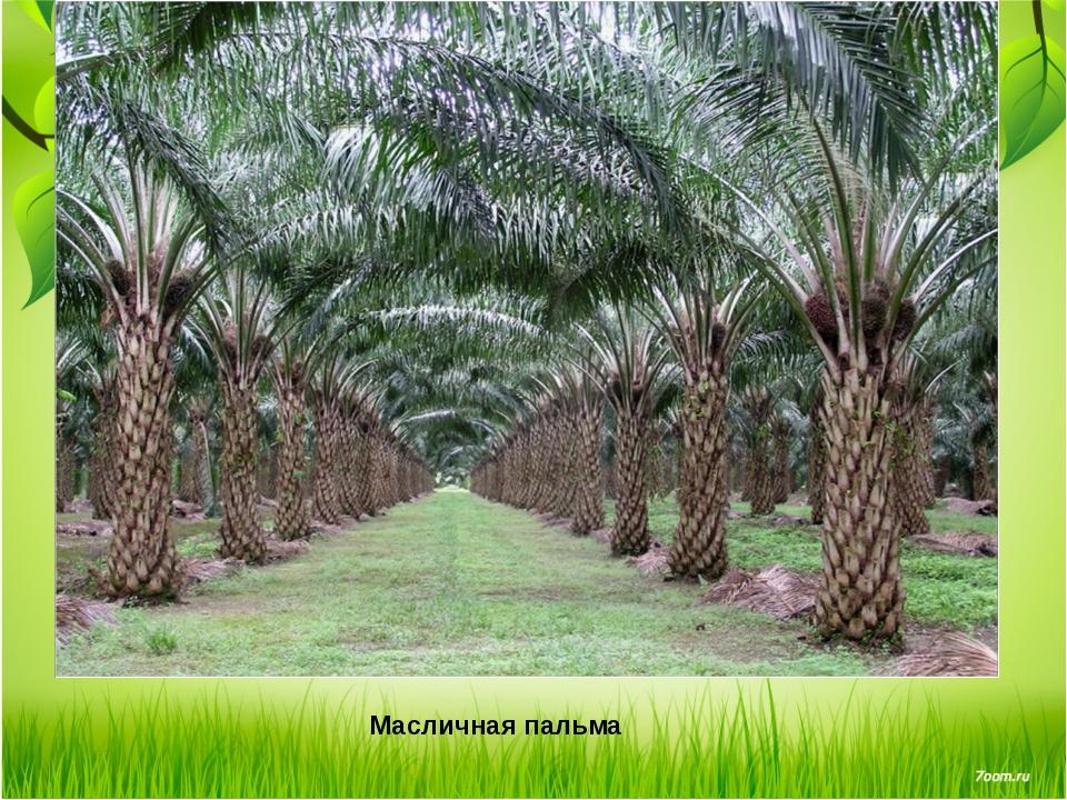 Масличная пальма