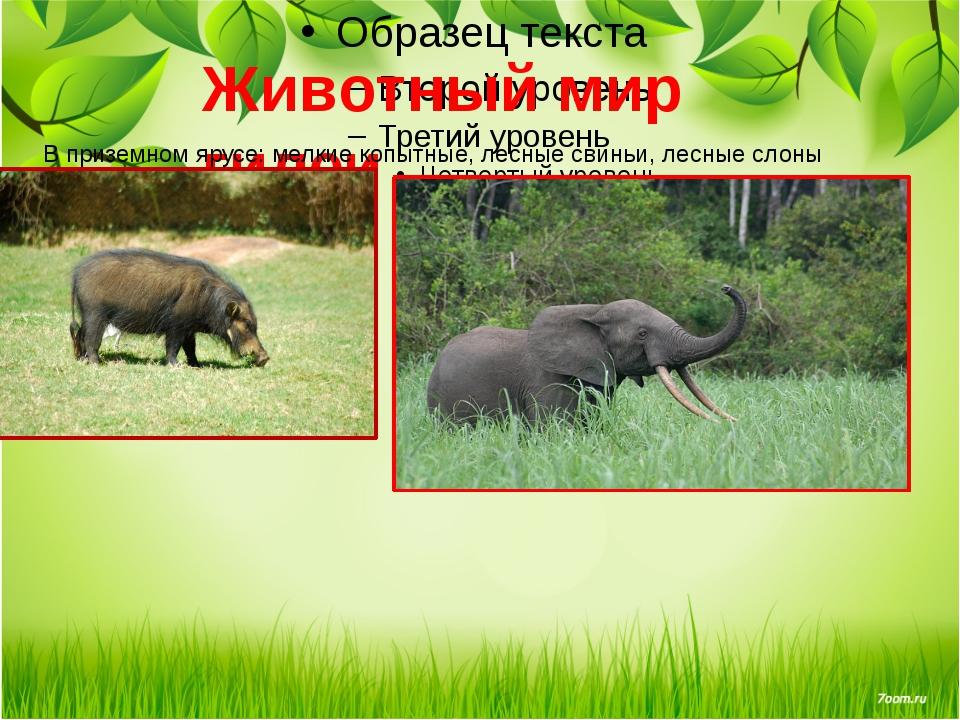 Животный мир гилеи В приземном ярусе: мелкие копытные, лесные свиньи, лесные...