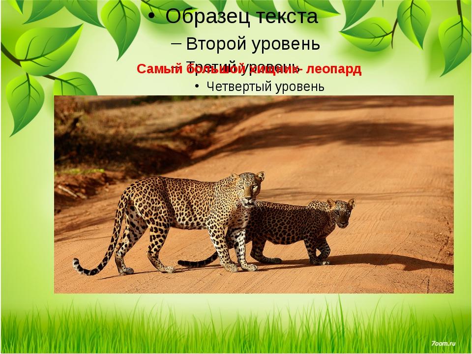 Самый большой хищник- леопард