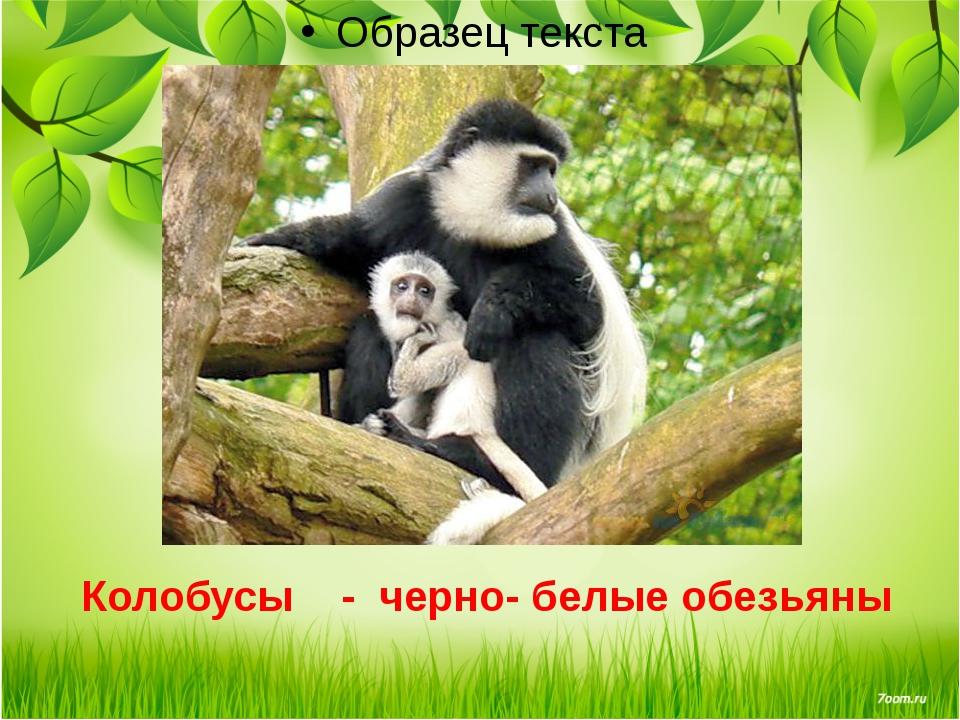 Колобусы - черно- белые обезьяны