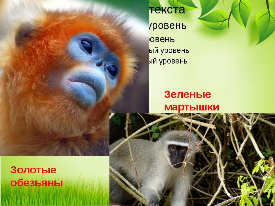 Золотые обезьяны Зеленые мартышки