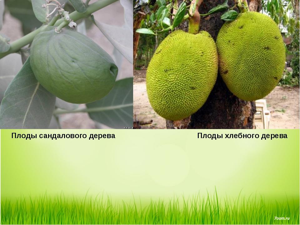 Плоды сандалового дерева Плоды хлебного дерева
