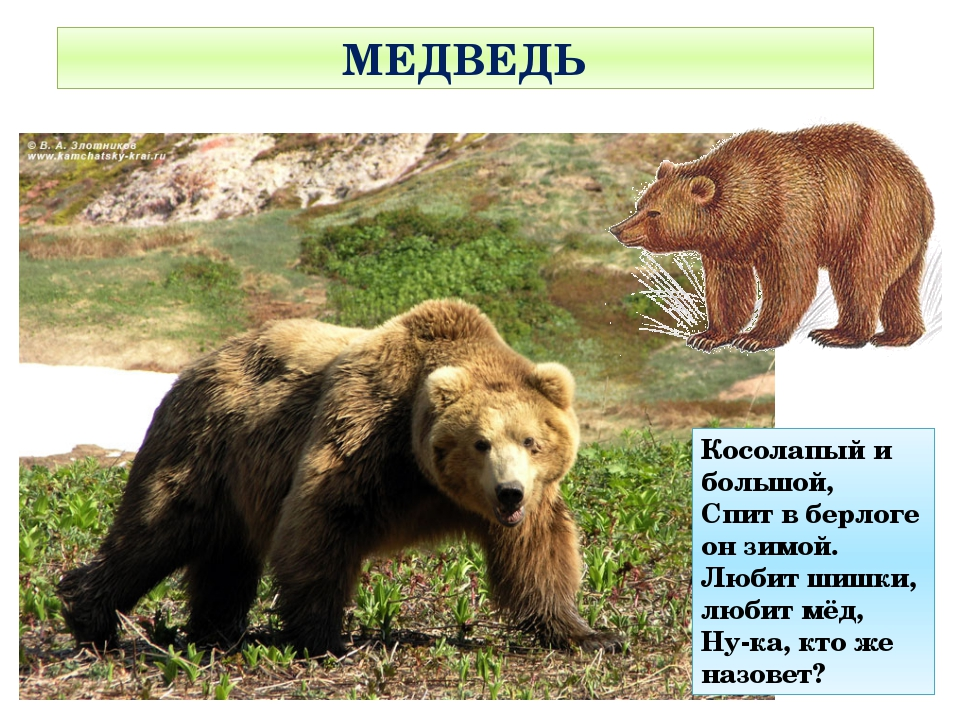 МЕДВЕДЬ Косолапый и большой, Спит в берлоге он зимой. Любит шишки, любит мёд,...