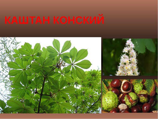 КАШТАН КОНСКИЙ