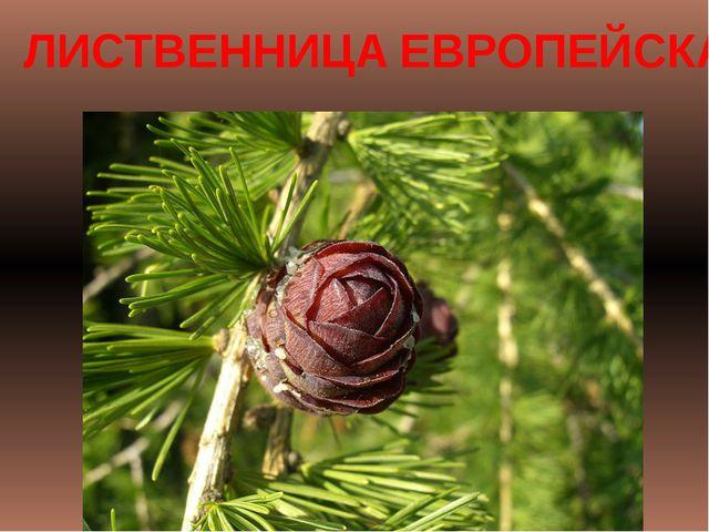 ЛИСТВЕННИЦА ЕВРОПЕЙСКАЯ