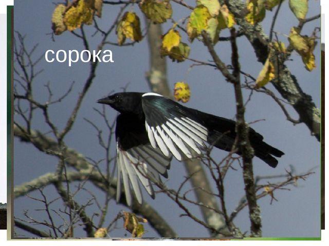 кедровка ласточка орёл сова сорока