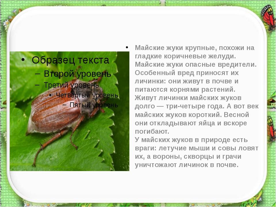 Майские жуки крупные, похожи на гладкие коричневые желуди. Майские жуки опас...