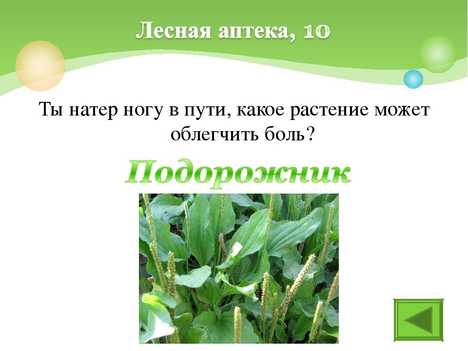 Ты натер ногу в пути, какое растение может облегчить боль?