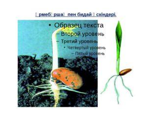 Үрмебұршақ пен бидай өскіндері.