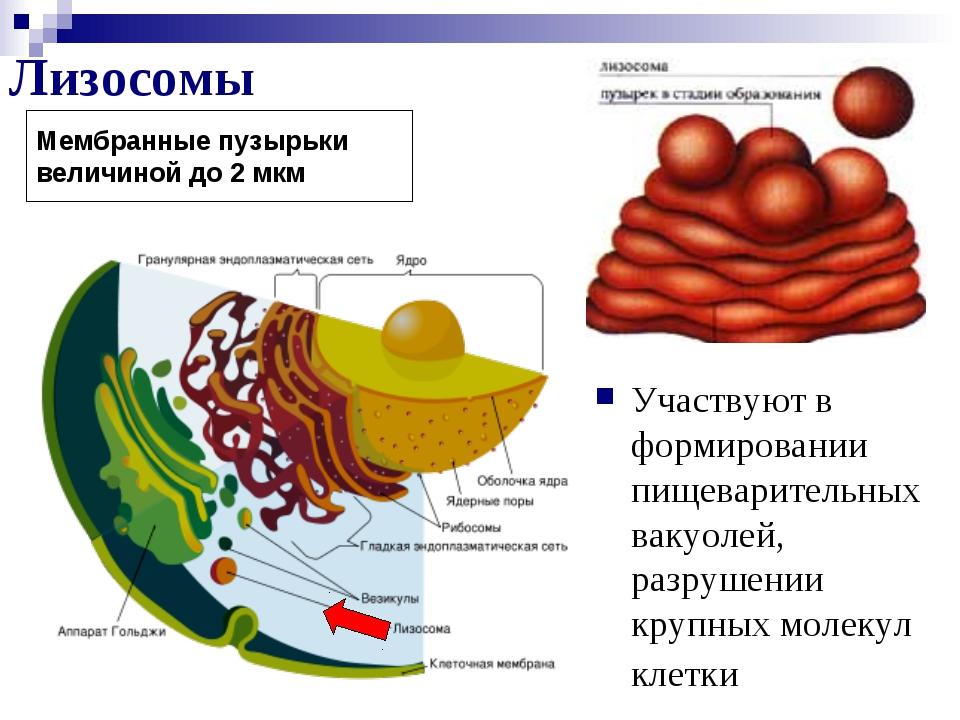 Лизосомы Участвуют в формировании пищеварительных вакуолей, разрушении крупны...