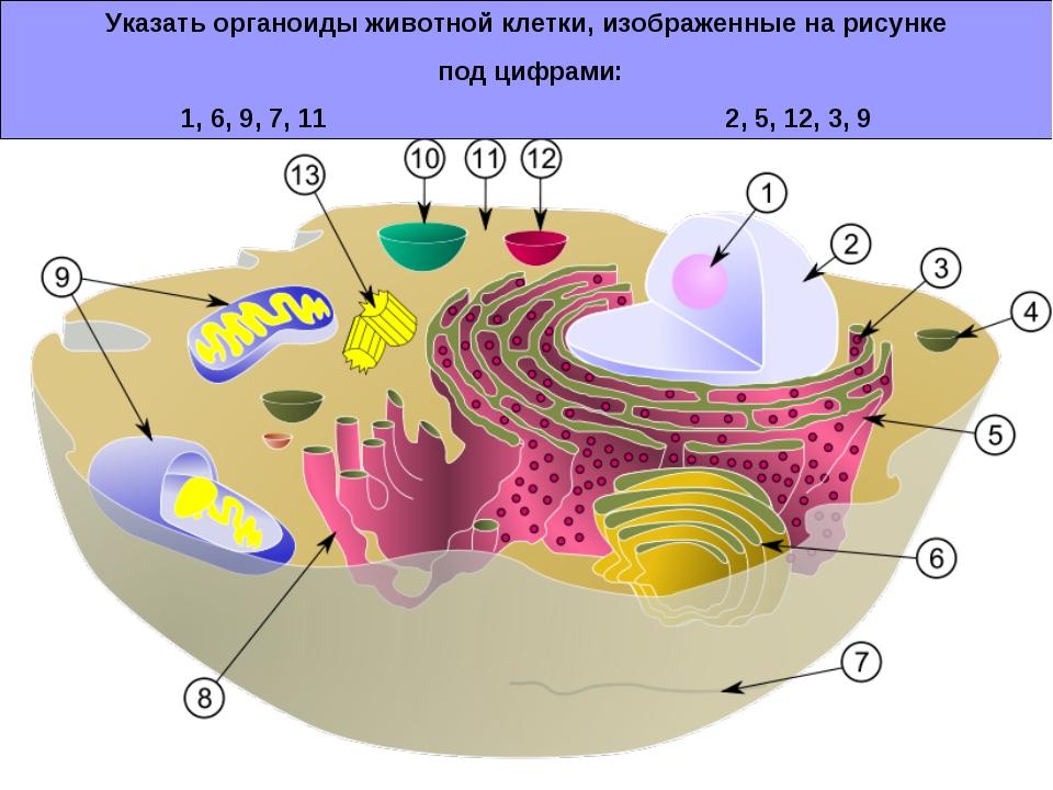 Указать органоиды животной клетки, изображенные на рисунке под цифрами: 1, 6,...