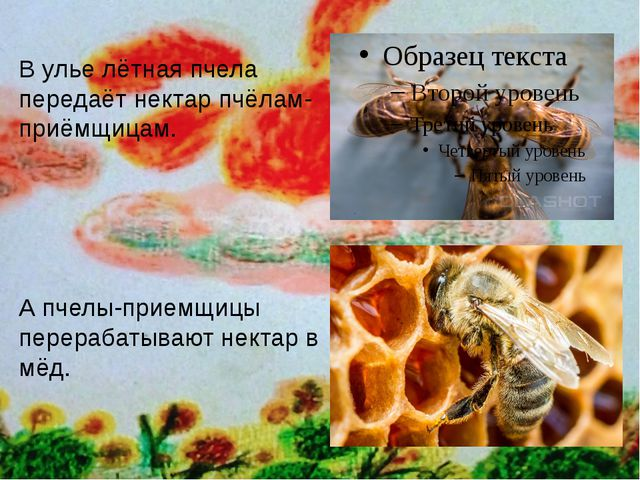 В улье лётная пчела передаёт нектар пчёлам- приёмщицам. А пчелы-приемщицы пе...