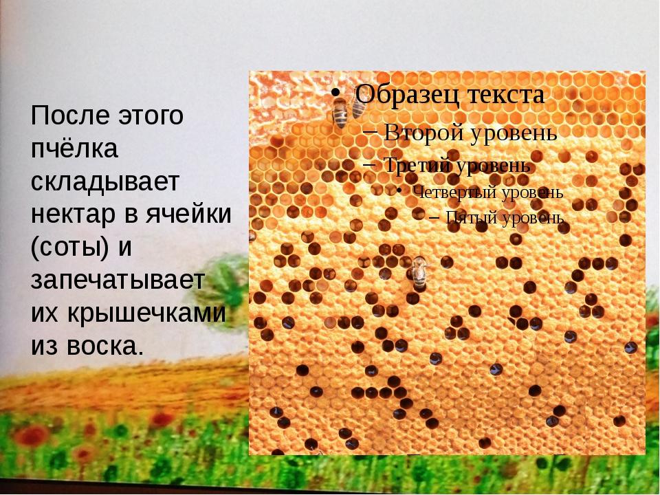 После этого пчёлка складывает нектар в ячейки (соты) и запечатывает их крыше...