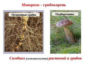 Микориза – грибокорень Симбиоз (сожительство) растений и грибов Подберезовик