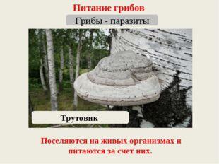 Питание грибов Грибы - паразиты Трутовик Поселяются на живых организмах и пит