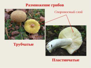 Трубчатые Пластинчатые Спороносный слой Размножение грибов