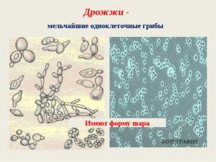 Дрожжи - мельчайшие одноклеточные грибы Имеют форму шара ФОТОГРАФИЯ