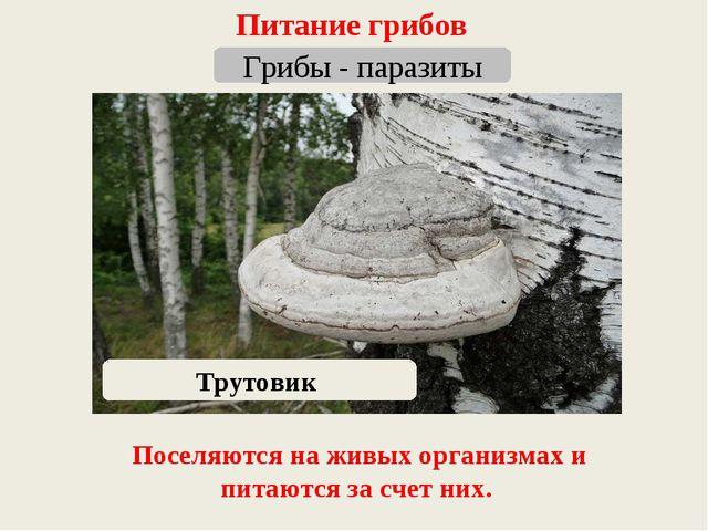 Питание грибов Грибы - паразиты Трутовик Поселяются на живых организмах и пит...