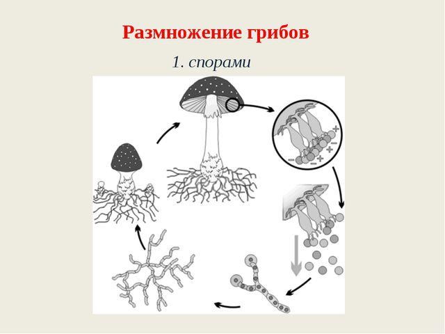 Размножение грибов 1. спорами