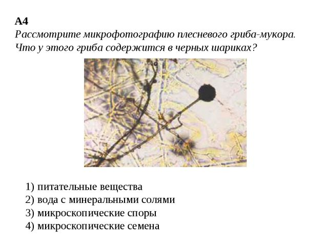 А4 Рассмотрите микрофотографию плесневого гриба-мукора. Что у этого гриба сод...