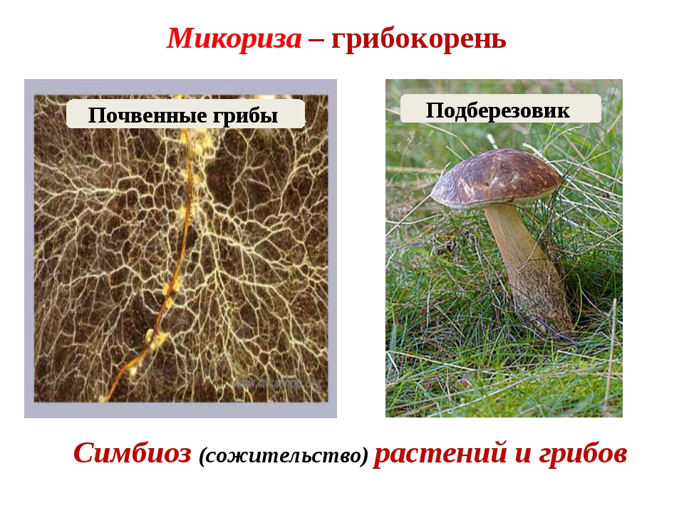 Микориза – грибокорень Симбиоз (сожительство) растений и грибов Подберезовик...