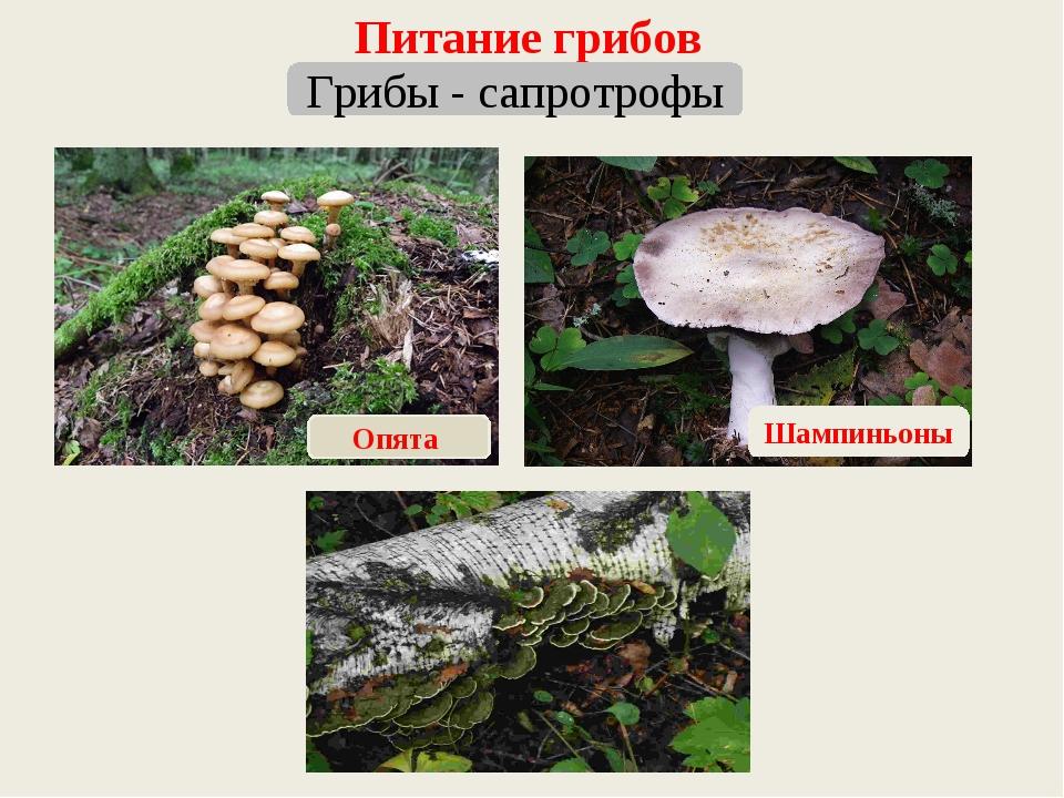 Питание грибов Грибы - сапротрофы