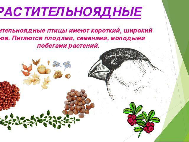РАСТИТЕЛЬНОЯДНЫЕ Растительноядные птицы имеют короткий, широкий клюв. Питаютс...