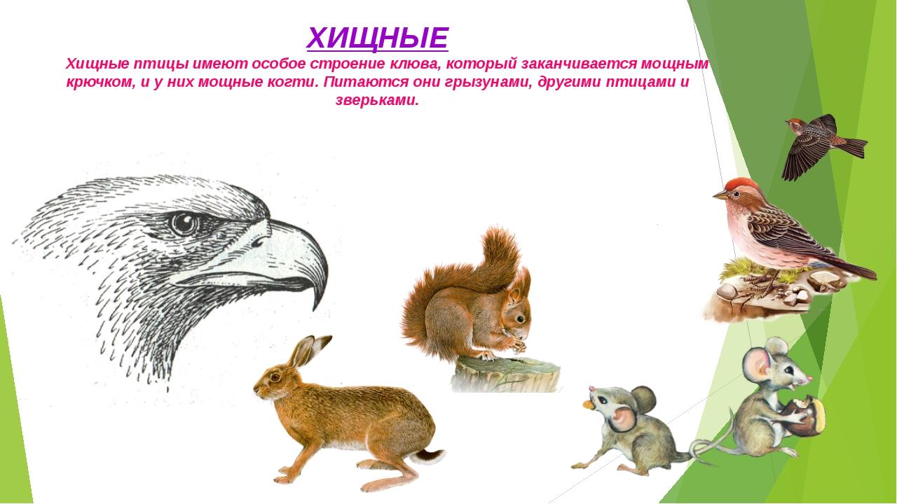 ХИЩНЫЕ Хищные птицы имеют особое строение клюва, который заканчивается мощным...