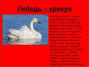 Лебедь – крикун ЛЕБЕДЬ-КЛИКУН птица из рода лебедей семейства утиных. Одна