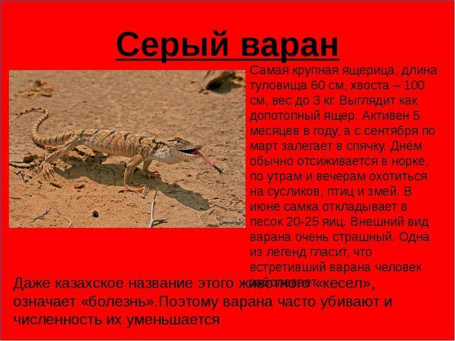 Серый варан Самая крупная ящерица, длина туловища 60 см, хвоста – 100 см, ве...